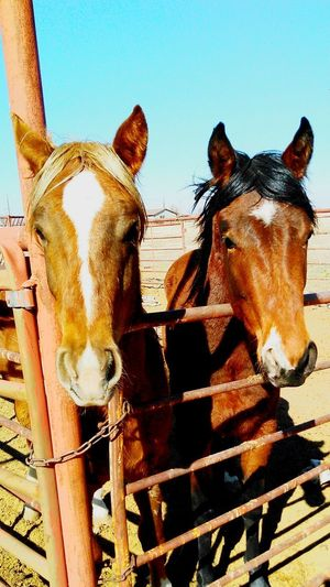 Ranch horses Horse Domestic Animals Animal Themes Mammal Livestock Paddock Stable Day Outdoors Rural Scene Ranch Barn Rural Farm Cowboy Western Country Pony Pasture Mane Hoof Working Animal Lifestyle Rural_living Calvary