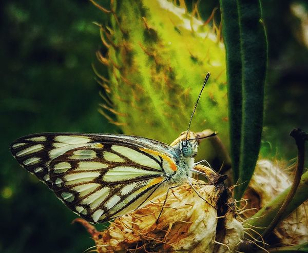 Nature's Diversities Butterfly Green Small