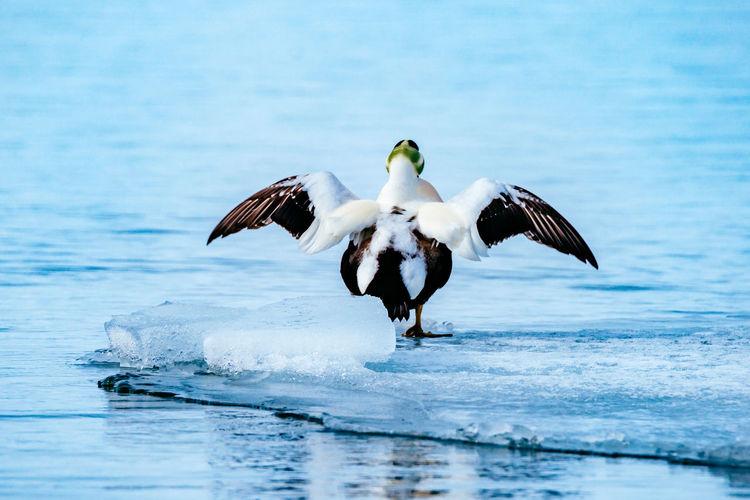 Bird at frozen Jokulsarlon lake