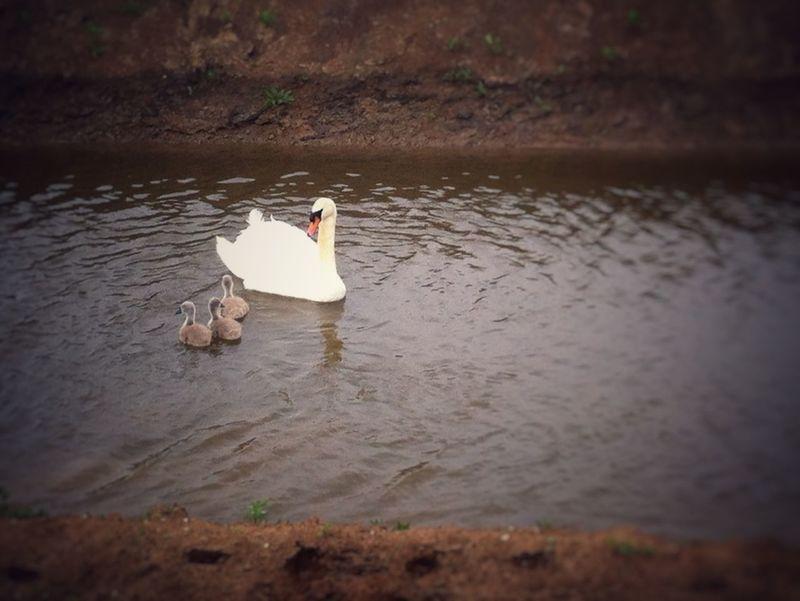 Kanaalpark Walking Around Maximakanaal OpenEdit Maximakanaal Zwanen Swan