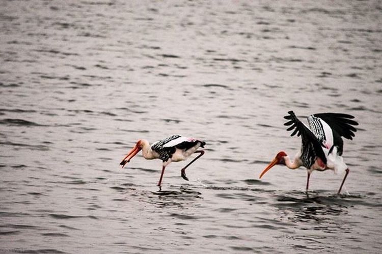 No chance. I am not going to share the fish. It is my prey says the Flamingo. Nature Naturelovers Birds Birdphotography Ig_nature Ig_naturelovers Flamingoes Madivalalake Reflection Vscocam VSCO Nikonindiaofficial Nikon Ig_captures Blue Ig_bangalore Prey Fish