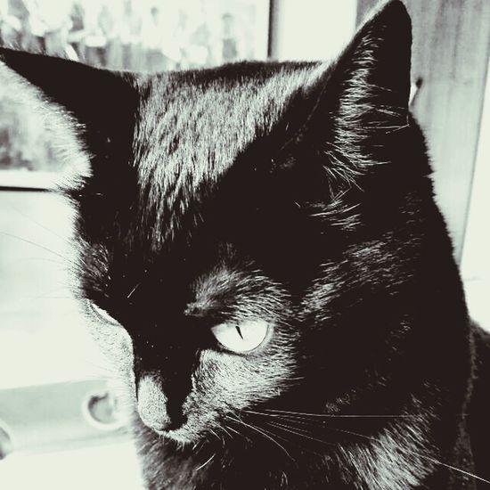 Esos días en los que el control se pierde para dejar paso a los deseos ocultos de miradas engañosas Animal_collection Animals Igblacknwhite Blacknwhite Gatos Miradas Catsofinstagram Catsagram Cats Of EyeEm Cats Declaración