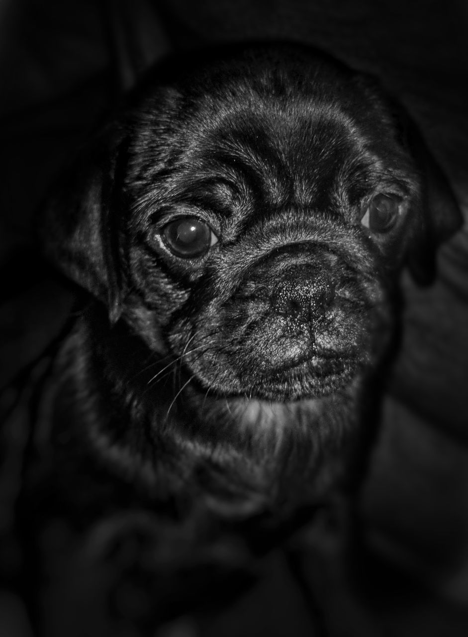 dog, pets, one animal, domestic animals, animal themes, mammal, indoors, close-up, portrait, no people, looking at camera, day