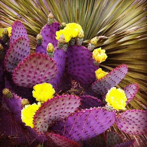 Cactus Flower Growth Thorn Close-up Nature Prickly Pear Cactus No People Spiked Fragility Beauty In Nature Yellow Day Outdoors Freshness Flower Head Purple Prickly Pear Yuccaplant Texas Landscape