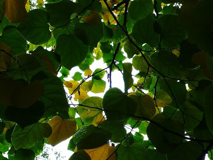 Tree Nature Leaf Freshness Beauty In Nature Green Is My Favourite Colour Under A Sea Of Green Perspectives On Nature