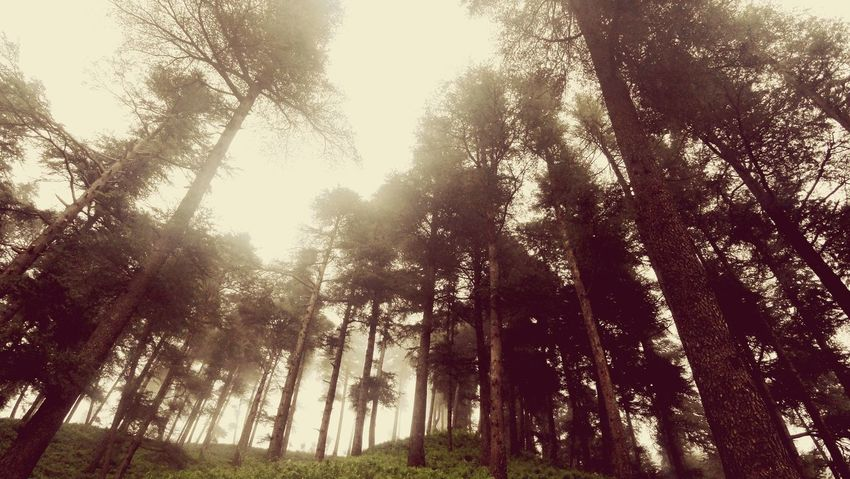 Wild Lover #closeup #landscape #nature #photography #foggy #Pinetrees Tree Low Angle View Forest Nature Growth Outdoors Day No People WoodLand Beauty In Nature Tree Trunk Sky Pine Tree Sunlight Tree Area EyeEmNewHere