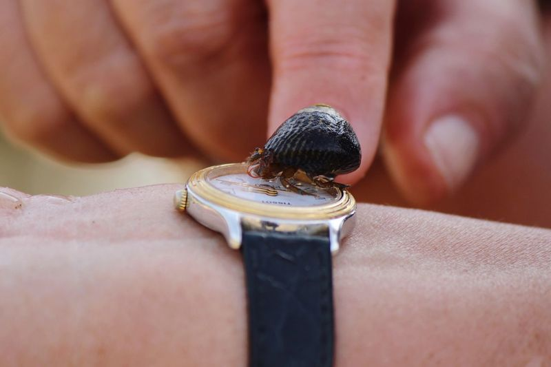 Close-up of small hermit crab on wristwatch