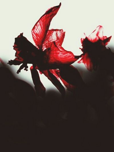 нарциссы Нарцисс цветы Flowers Narcissus Red Light Collection Creative Light And Shadow
