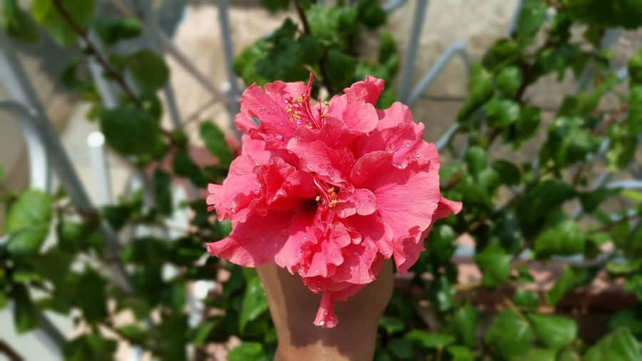 Beauty In Nature Blooming Blossom Botany Creative Light And Shadow EyeEm EyeEm Best Shots EyeEm Nature Lover Flower Flower Head Freshness Growth Hello World Hibiscus In Bloom Leaf Nature Outdoors Petal Photography Pink Plant Red Nature' Diversities The Essence Of Summer