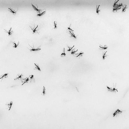 High angle view of dead mosquitoes on white background