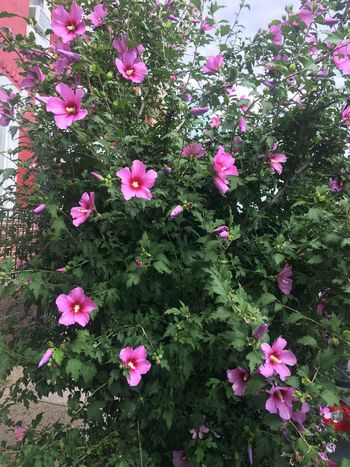 Flower Pink Color Growth Fragility Nature Beauty In Nature Petal Plant Freshness Day No People Outdoors Blooming Flower Head Periwinkle Roses Of Sharon Rose Of Sharon