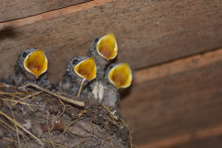 Close-up of young birds with open mouth in nest