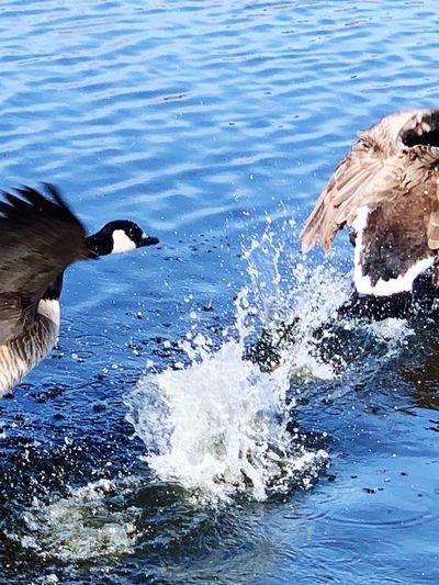 Canada Goose Water Motion Animal Animal Themes Nature Splashing Day