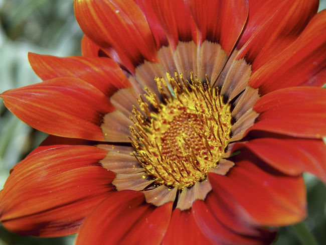 Cleveland Botanical Garden Beauty In Nature Blooming Close-up Day Flower Flower Head Fragility Freshness Gazania Growth Macro Nature No People Outdoors Petal Plant Pollen Pollenation Red Warm Colors EyeEmNewHere Perspectives On Nature
