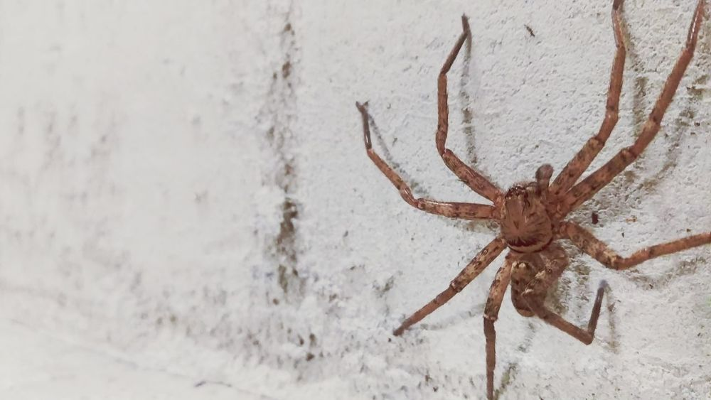 Update after taking pic of Spider my dad came in the saw the spider and scream like a girl and squished it with his shoe R.I.PHanging Out Wall Arachnid Arachnophobia Check This Out Cheese! Hi! White Brown Brick Wall Life Sad :( Died & Gone To Heaven