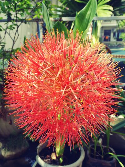 Scadoxus Scadoxus Flower Head Flower Red Close-up Plant In Bloom Blossom Dahlia Plant Life Focus