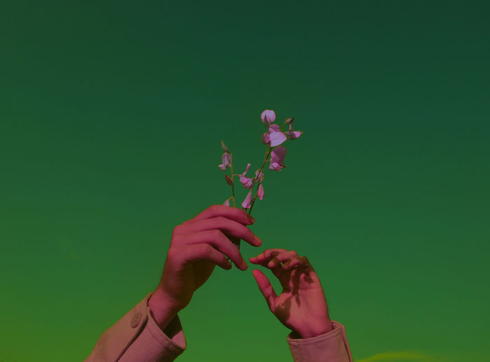 Close-up of hand holding pink rose against blue background