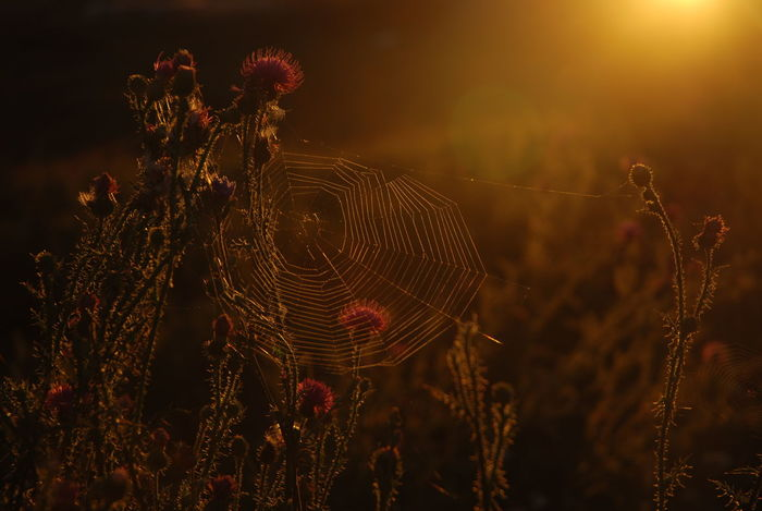 There is something Magical in the Late Summers Sunset, when the Suns Orange Light Spreads over the Flower filled Field *** Pattern Shiny Spider Spider Web Sunshine Thistle Web Wet