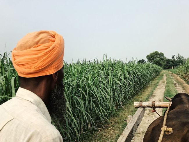 Rice Paddy Travel Photography Agriculture Bullock Cart Clothing Crop  Day Environment Farm Farmer Field Green Color Growth Land Landscape Nature One Person Orange Color Outdoors Plant Real People Rice Fields  Rural Scene Travelphotography Turban