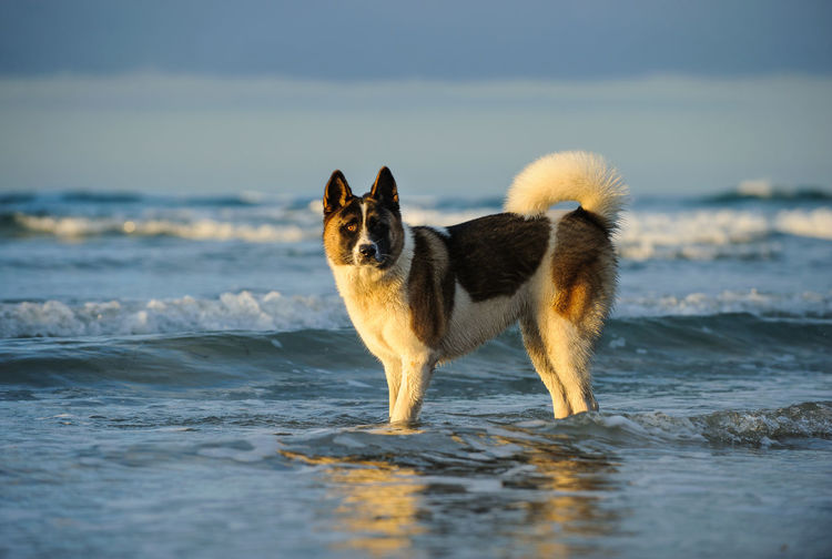 Side view of japanese akita standing in water at beach