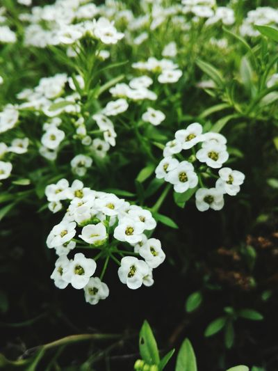Maximum Closeness Colour Of Life, Huawei P8 Lite. Photography Smartphonephotography Smartphonephotography Smartphone Photos Smartphone Photography White Flower Park Flowers Summertime