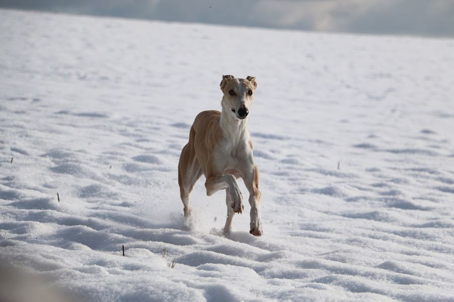 brown galgo is running in the snow Funny Galgo Galgo Español. Winter Action Active Animal Themes Day Dog Domestic Animals Fast Field Galgo Espanol Galgoespañol Garden Greyhound Nature Outdoors Pets Running Sighthound Snow Sport Whippet Windhund