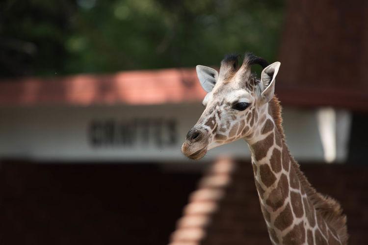 Giraffe Animal Themes Animal Wildlife Close-up Focus On Foreground Mammal No People One Animal Zoology