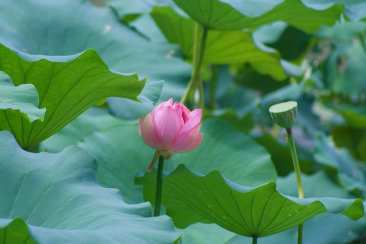 Beauty In Nature Blooming Close-up Day Flower Flower Head Fragility Freshness Green Color Growth Leaf Lotus Nature No People Outdoors Petal Pink Color Plant