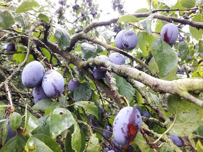 prunes growing