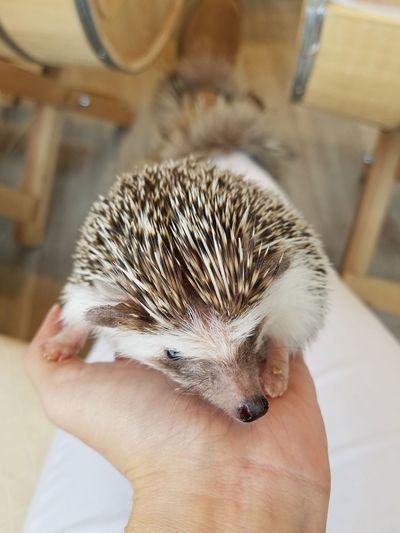 2017 Harajuku Close-up Cute Day Domestic Animals Hedgehog Holding Human Hand Indoors  Mammal One Animal Pet Pets ハリネズミ