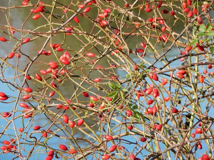 Fruit Food And Drink Red Tree Rowanberry Food Growth
