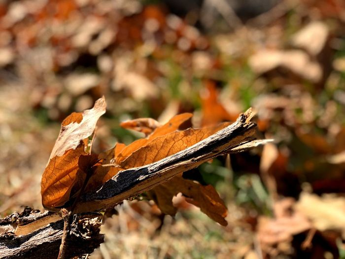 Close-up of dried autumn leaves on field