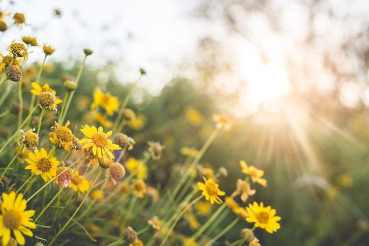 Wildflowers at Sunrise Flower Beauty In Nature Yellow Sunlight Sun Outdoors Tranquility Bright Nature EyeEmNewHere No People Spring Field Focus On Foreground The Great Outdoors - 2017 EyeEm Awards