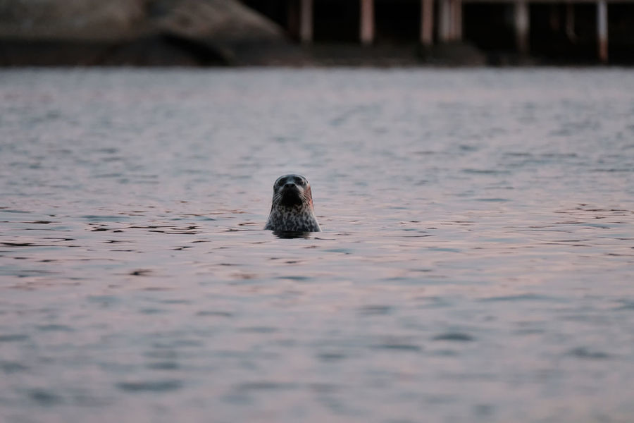 The Seal Animal Themes Animal Wildlife Animals In The Wild EyeEm Nature Lover Eyeem Sweden Fujifilm Kungshamn Looking At Camera Natur Nature Nature Photography No People One Animal Outdoors Sal Sea Seal Sotenäs Sverige Sweden Swimming Water X-t2 XF100-400 Xf100400