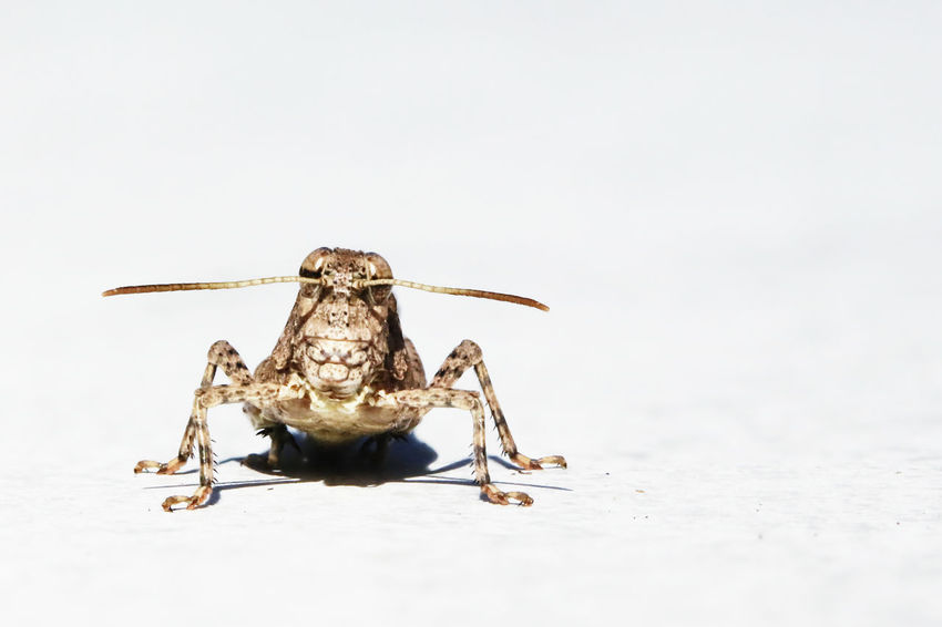 Animal Themes Close-up Grasshopper Grasshoppers Insect Insect Photography Insects  One Animal