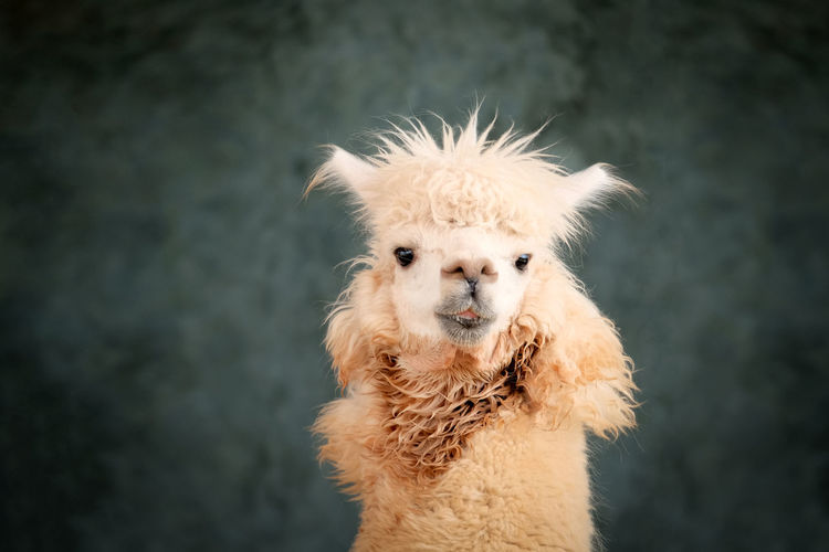 Portrait of alpaca smiling with blur cement wall background.
