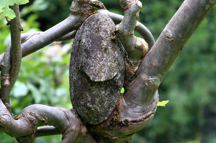stone wrapped around the branch Absorbed Branches Plant Wood Beauty In Nature Branch Contortion Knotted Wood Outdoors Penetrated Stone Strange In Nature Tree Wrapped Perspectives On Nature