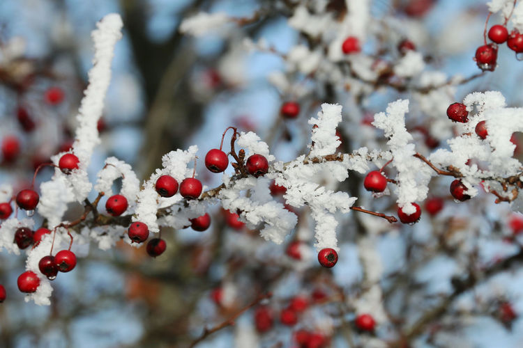Red hawthorn fruit on its branches covered with snow. blue sky background and wallpaper.