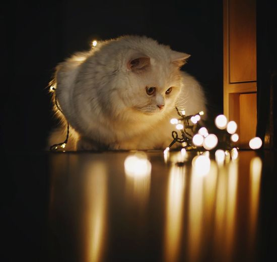 Close-up of illuminated cat