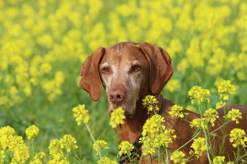 It's that yellow field time of the year again. Makes us both sneeze but still fun to play in. Hungarian Vizsla EyeEm Selects One Animal Flower Animal Themes Animal Yellow Plant Flowering Plant Mammal Growth Domestic Animals Pets Beauty In Nature Canine Dog Nature Field Land Freshness
