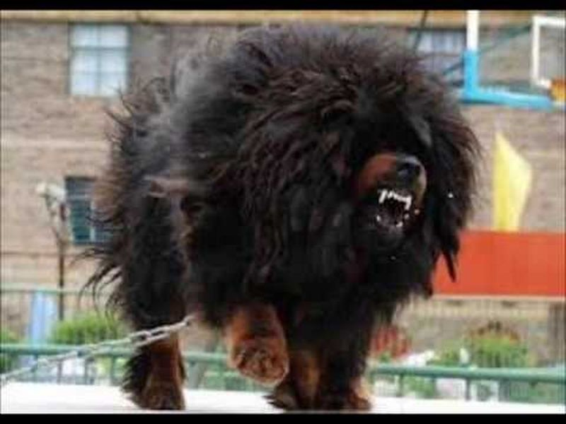 tibetan mastiff one of the very expensive doogs Tibetan Mastiff DOOG! Animals