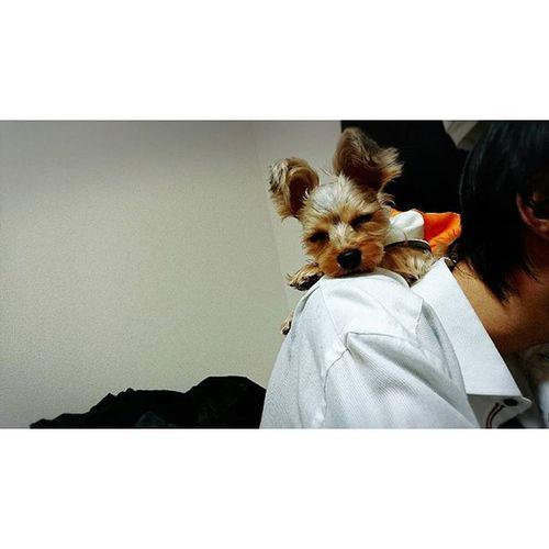 ∴ゆうちゃんの肩の上で寝てるきゅうちゃん。 きゅうちゃん 肩 上 登れるんだ 笑 そこで 寝るんだ ゆうちゃん 愛犬 ヨークシャーテリア ヨーキー Yoki Dog