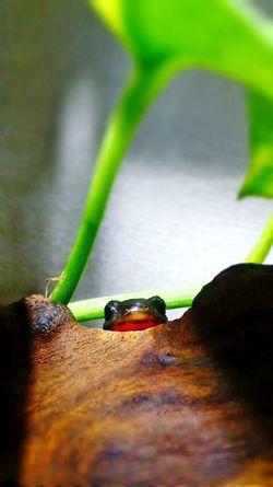 Terrarium Newt アカハライモリ Japanese Fire Belly Newt 両生類 Amphibian