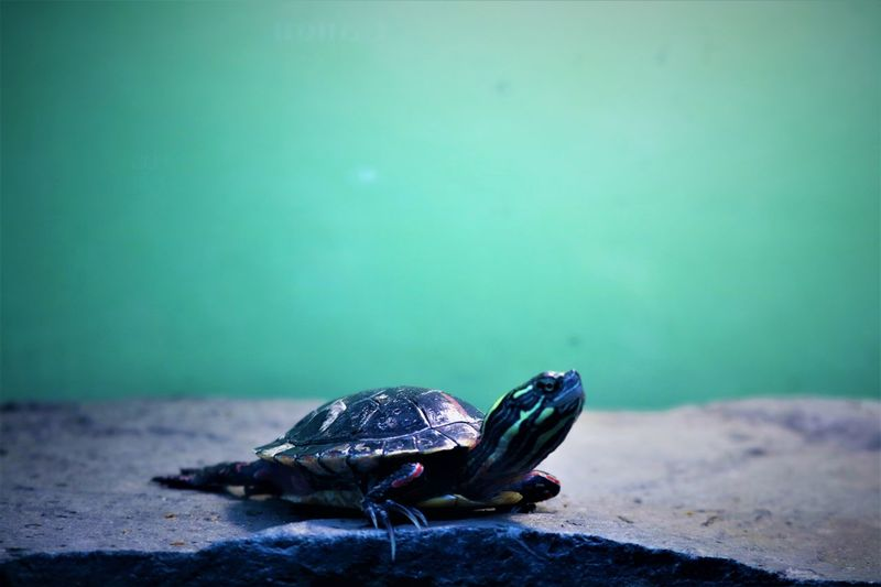 Animal Themes Animal Wildlife Animals In The Wild Beauty In Nature Close-up Day Nature No People One Animal Outdoors Reptile Sea Life Sea Turtle Tortoise Tortoise Shell Turtle Water Wildlife