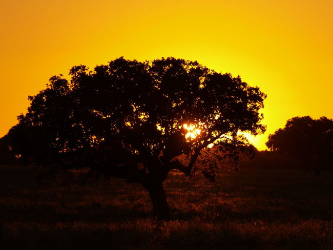 Beauty In Nature Beauty In Nature Close-up Dehesa Forest Landscape Nature No People Orange Outdoors Pasture, Paddock, Grassland, Pastureland Quercus Quercus Ilex Scenics Silhouette Silhouette Sun Sunlight Sunset Sunset Silhouettes Sunset_collection Tree Tree Yellow