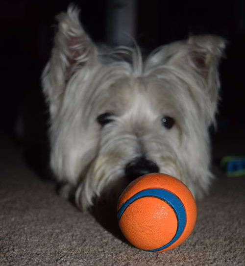 #westhighlandterrier Dog Dog With A Ball Domestic Animals Front View Looking At Ball Pets West Highland White Terrier My Best Photo 2016 Fine Art Photography The Color Of Sport The Week On EyeEm Pet Portraits