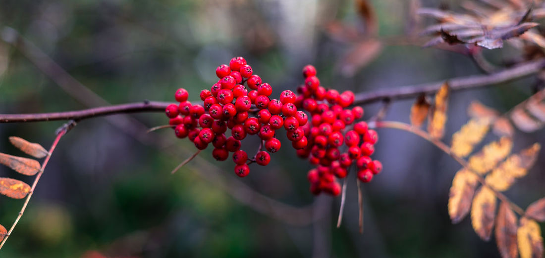 Fall Beauty Fall Colors Beauty In Nature Branch Close-up Cold Day Fall Fall Leaves Flower Flower Head Focus On Foreground Fragility Freshness Fruit Growth Nature No People Outdoors Plant Red Tree