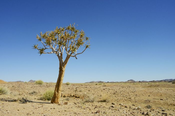 Quiver tree in the Namib Desert Namibia Desert Namib Desert Namibia Africa Arid Climate Bare Tree Beauty In Nature Blue Clear Sky Day Desert Horizon Over Land Landscape Lone Namib Nature No People Outdoors Quiver Quivertree  Remote Scenics Tranquil Scene Tranquility Tree