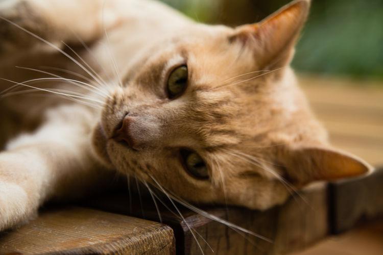 Tranquil Animal Themes Cat Cat Face Close-up Domestic Animals Domestic Cat Feline Laziness Lazy Mammal Pets