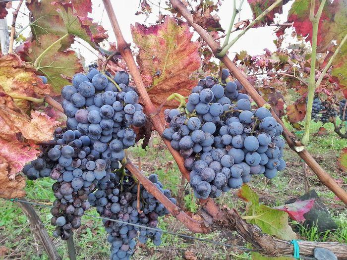 Botany Close Up Food And Drink Fruit Grape Grapes Grapes Harvest Nature Vine Etna Grapes Etna Wine Etna Fruits Etna, Mountain, Sicily, Bio Grapes Biologic Wine Biologic Grapes